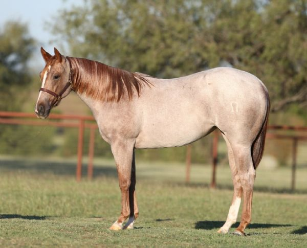Red Roan Quarter Horse | www.pixshark.com - Images ...