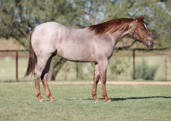 Red Roan Quarter Horses for Sale